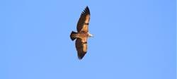 Studii de avifaună – Parc Eolian Tafila, Iordania